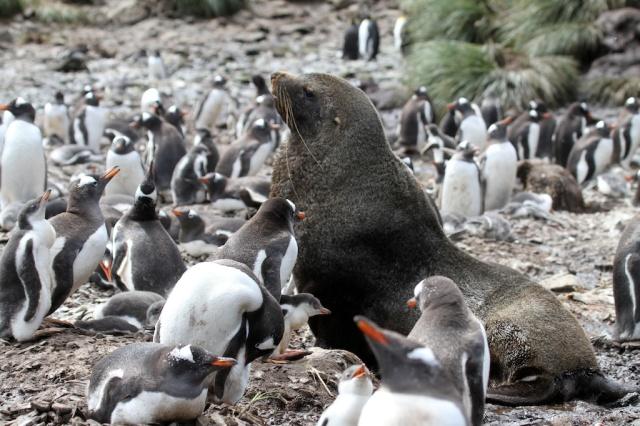 Fur seal in peguin colony