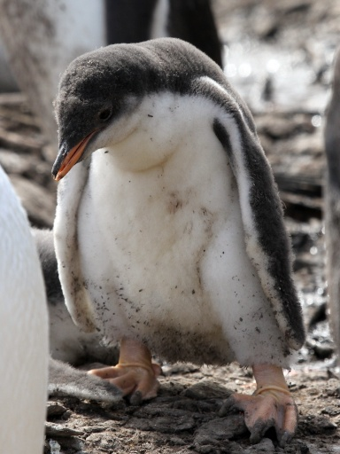 Sad penguin chick