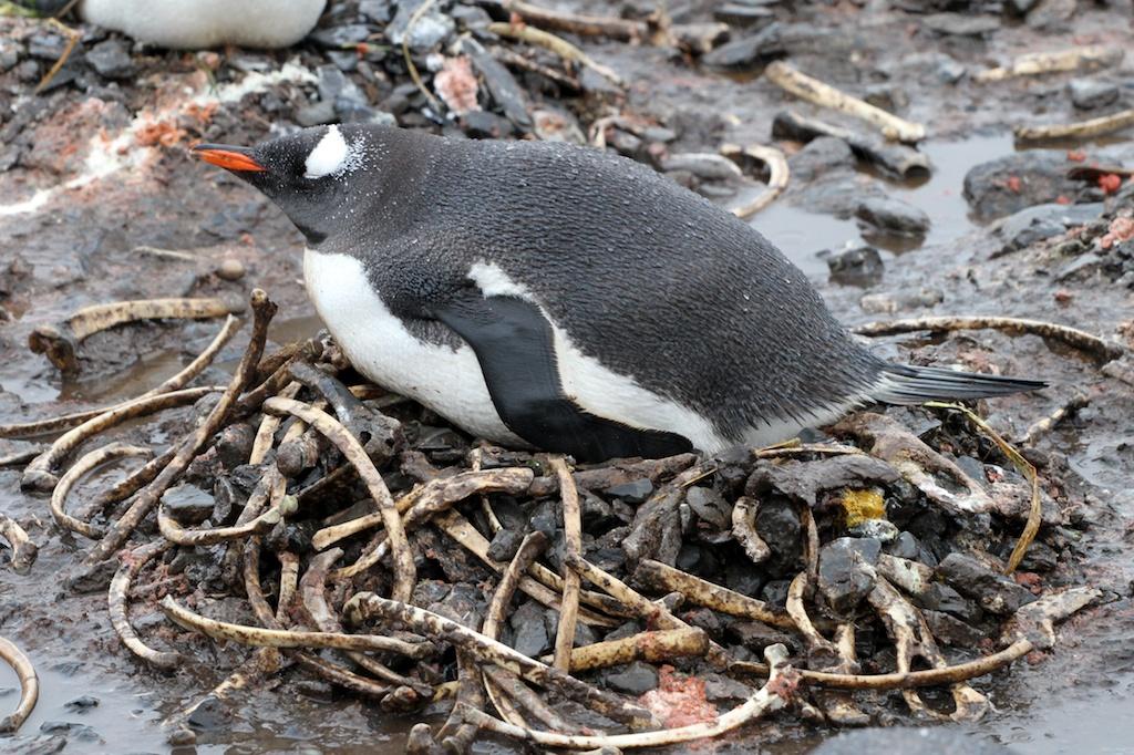 Gentoo penguins | abin...