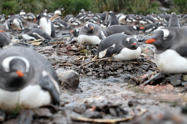 Gentoo penguins on nests